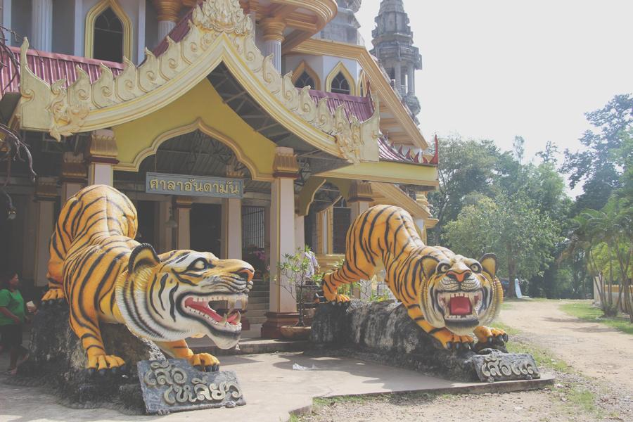 Rencontre avec les tigres...